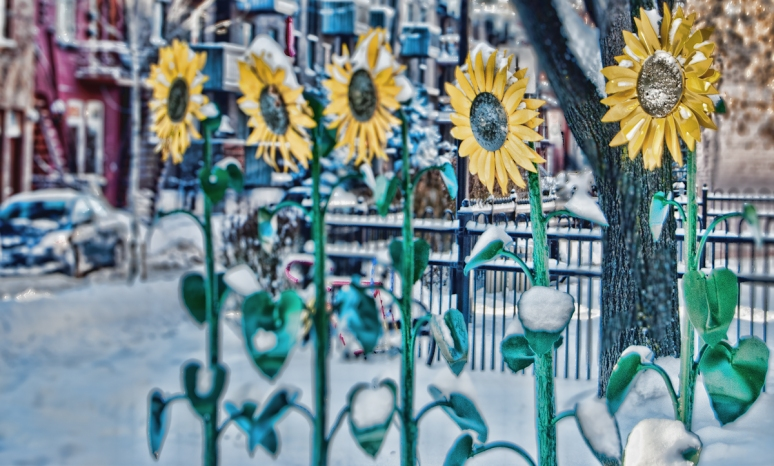Urban Sunflowers