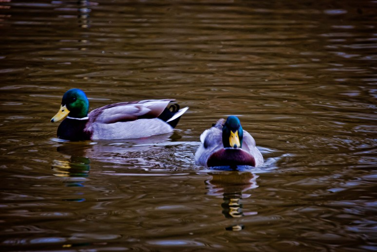 Ducks in Hatfield Forest, Essex
