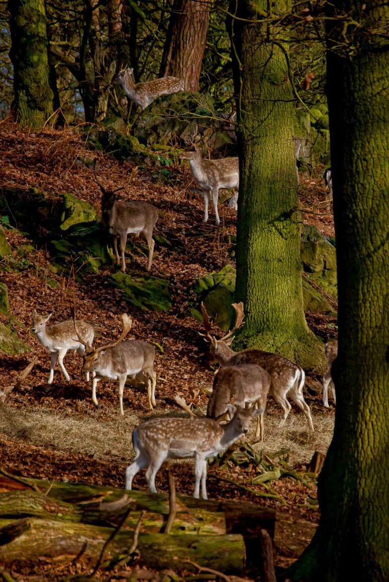 Herd of deer in Bradgate Park, Leicestershire
