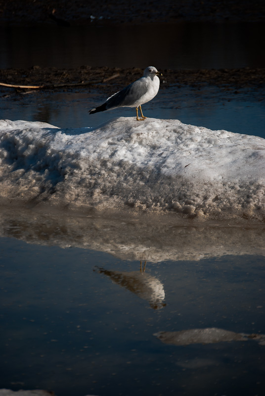 Seagull on an island of snow and ice