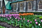 Tulips outside Christ Church Anglican Cathedral