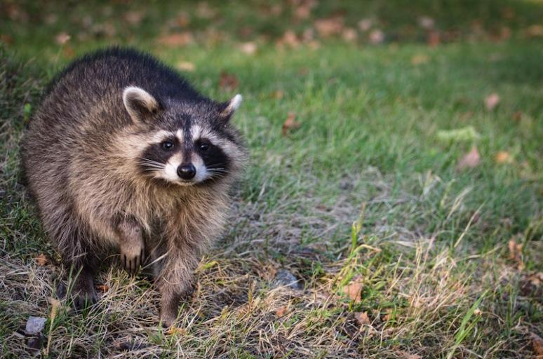 Raccoon on Mount Royal