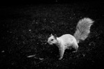 A white squirrel at Parc La Fontaine