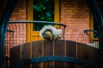 A shy squirrel on a gate