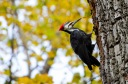 Pileated Male Woodpecker on Mount Royal