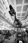 Gorgosaurus Libratus Dinosaur at Redpath Museum