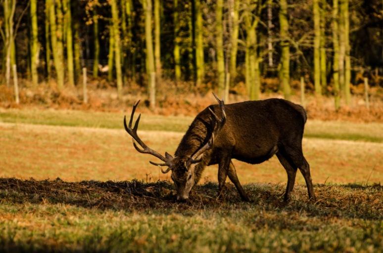 Red Buck Deer