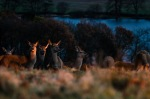 Fallow Deer in late afternoon sun
