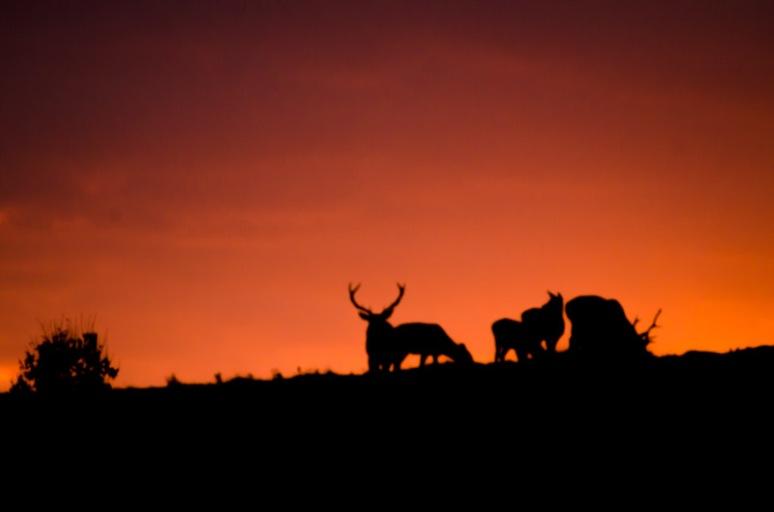 Bradgate Park deer at sunset